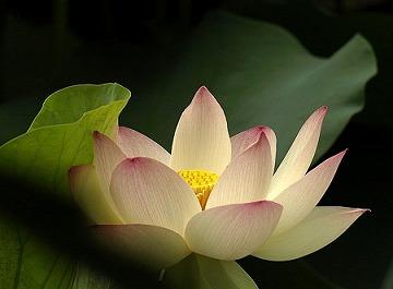 lotus_2.jpg
